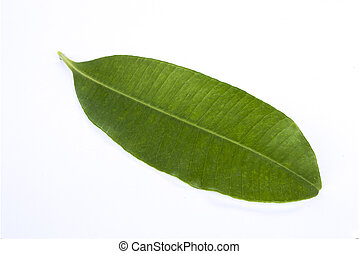 Devil's leaf on white background