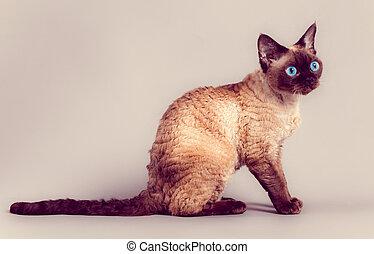 Rex Hodować Devon Kot Szary Rex Sofa Hodować Kot Devon Siada