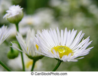 Dew 2 - on the camomile flower