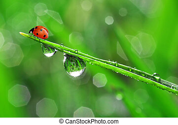 dew and ladybird  - fresh morning dew and ladybird