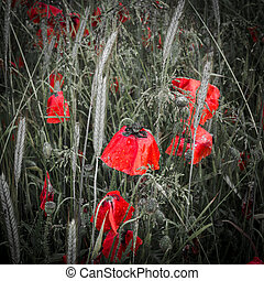 Dew covered deep red poppies in a field
