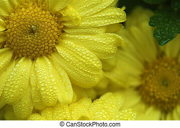 Dew Drop Daisy - A yellow daisy dripping with dew early in...