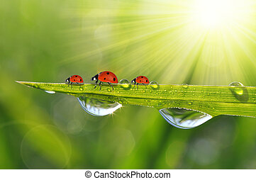 dew drops and ladybirds - Fresh green grass with dew drops...