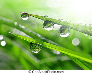dew drops close up  - Fresh grass with dew drops close up