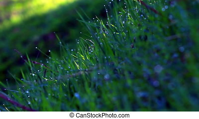 Dew drops on a green grass at morni