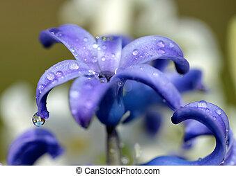 Dew drops on a spring flower Hyacinth