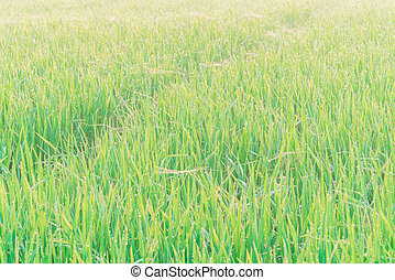 Dew drops on green foliages of white rice fields in countryside Vietnam