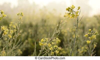 Dew drops on mustard flowers - HD stock footage of dew drops...