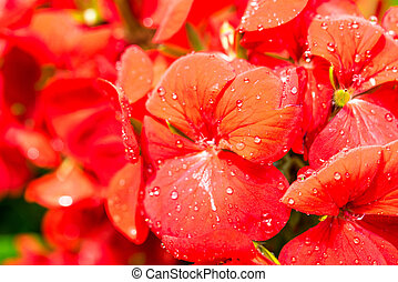 Dew drops on red flower