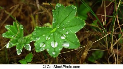 Tiny droplets of dew cling to the geometric leaves of a wild, low growing plant in extreme closeup.