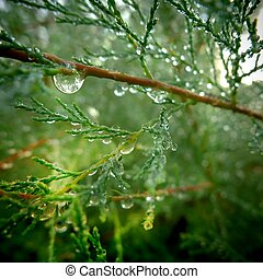 Macro view of dew drops over leaves of mountain cypress (Austrocedrus chilensis) early morning.