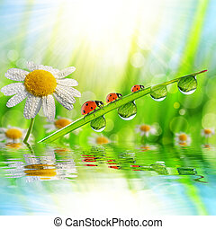 dew drops with ladybugs - Spring flower Daisy and ladybugs...