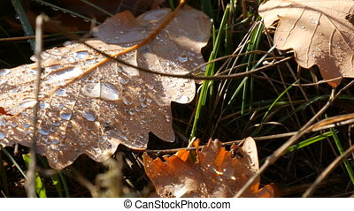 Dew on beautiful autumn leaves macro close up view. Autumn...