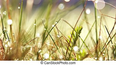 Dew on grass in sun light - Water drops shining in rising...