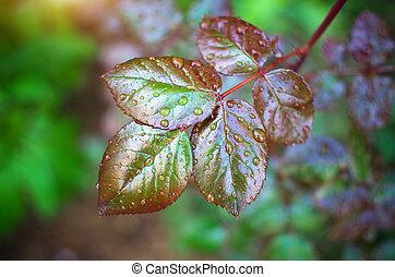 Dew on leaf. - Dew of raindrops on leaf. Nature composition.