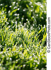 dew on the green grass in nature