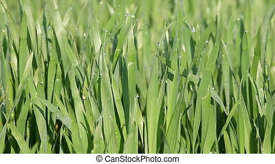 dew on the green wheat