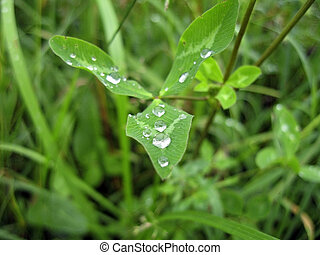 Dew on the leaves after rain
