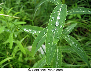 Dew on the leaves