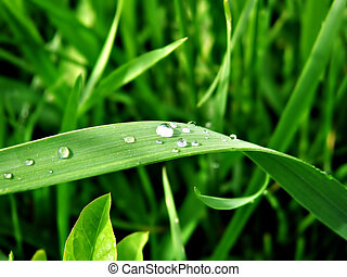 Dew - Grass with morning dew
