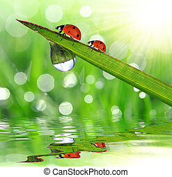 dew with ladybugs - Fresh morning dew on a spring grass and...