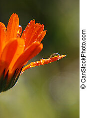 dewdrops on marigold - some early morning dewdrops on...