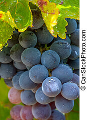 Dewy black grapes - Grapes on the vine with dew drops