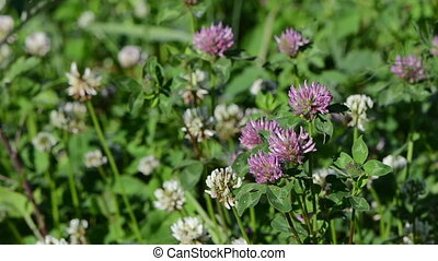 dewy clover plants - Closeup of dewy white and red clover...