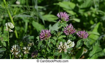 dewy clover plants - dewy white and red clover plants grow...