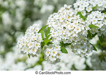 dewy flowering shrub bridal wreath spirea, floral background