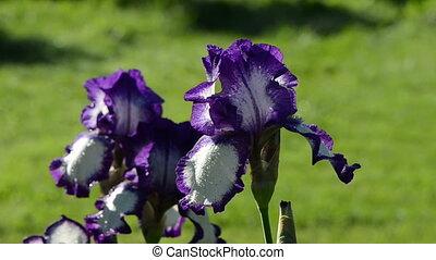 dewy iris flower
