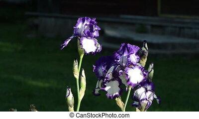 dewy iris flower - dewy multicolor iris flower move in wind....