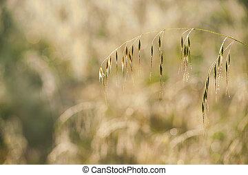 dewy oats