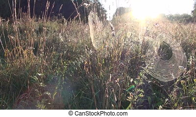 dewy spider-webs in autumn grass
