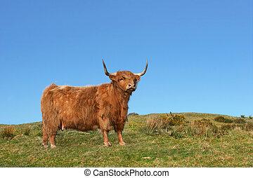 Dexter Highland Cow - Dexter Highland cow standing on rough...