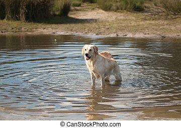 Dg, Golden retriever, standing in water - Dog, Golden...