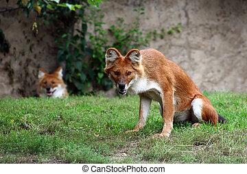 Dhole - Asiatic Wild Dog - Dhole, Cuon alpinus