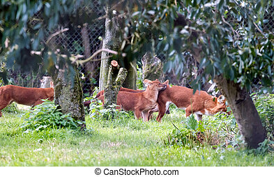 Dhole (Cuon alpinus) also called the Asiatic wild dog or...