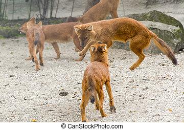 Dhole (Cuon alpinus) - Dhole or Asiatic wild dog (Cuon...