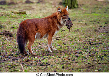 Dhole (Cuon alpinus), also known as the Asiatic Wild Dog,...