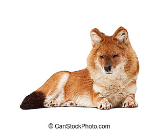 Dhole. Isolated over white