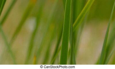 dièse, herbe, lames, vert