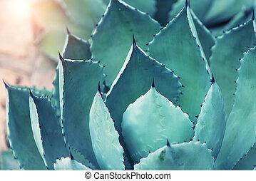 dièse, pointu, agave, plante, feuilles