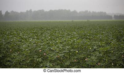 dia chuvoso, campo algodão