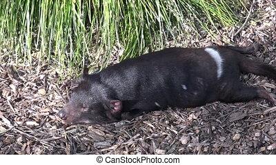 diable tasmanien, sommeils