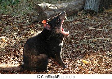 diablo tasmaniano, harris, (sarcophilus