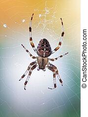 diadematus, araneus, -, spider colère