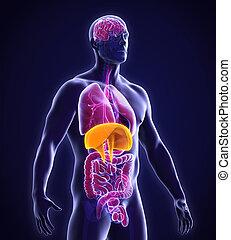 diaframma, anatomia, umano