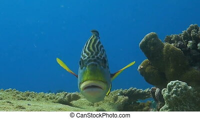 Diagonal banded sweetlips on a cleaning station - Diagonal...