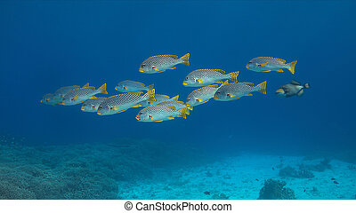 Diagonal Banded Sweetlips on a coral reef